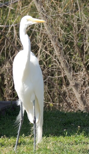 Great Egret at Choke Canynon 2